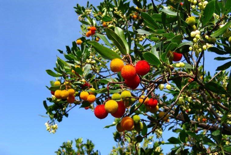 Festa dell'albero, il Comune piantumerà cespugli di corbezzolo - quotidianodigela.it